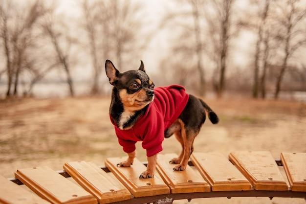 Chihuahua hondje op de bank. leuk huisdier buitenshuis. chihuahua in het park in kleding.