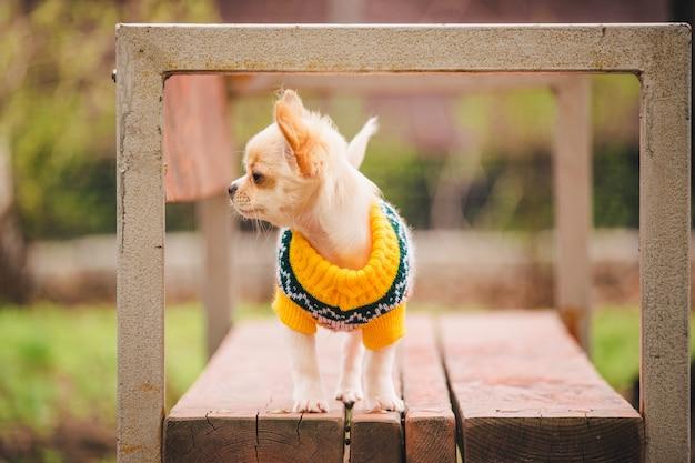 Chihuahua hondje op de bank. leuk huisdier buitenshuis. chihuahua pup in het park in kleding.