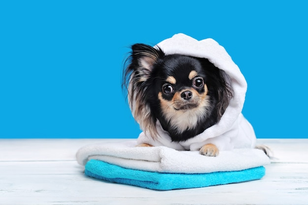 Chihuahua in badjas die op handdoekenpak legt