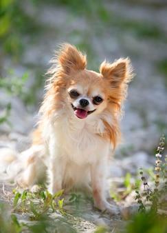 Chihuahua in de natuur