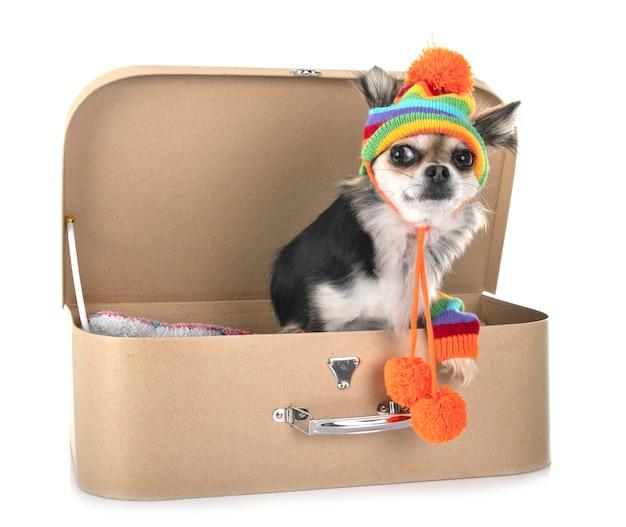 Chihuahua in de studio