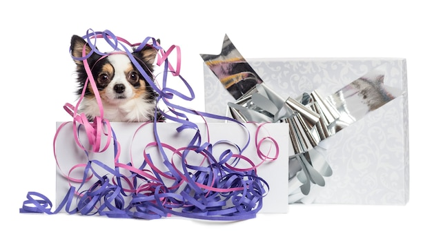 Chihuahua in een huidige doos met slingers