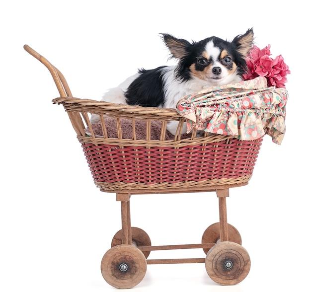 Chihuahua in een kleine vintage kinderwagen op een witte muur
