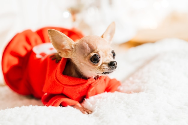 Chihuahua in het interieur van het nieuwe jaar. kleine hond ligt op tafelblad. rond kerst speelgoed, decoraties.