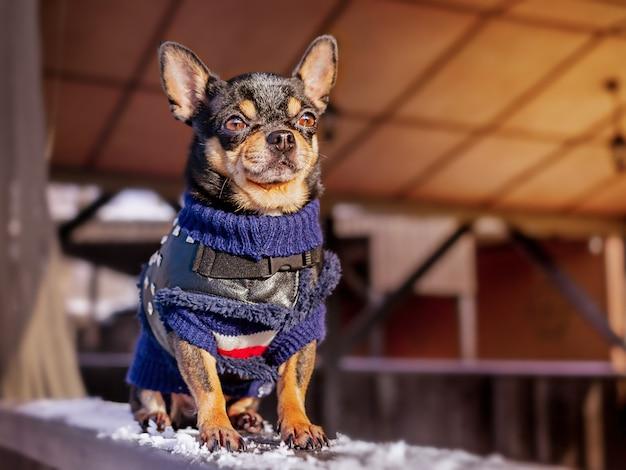 Chihuahua in winterkleren. hond op een wandeling in de winter.