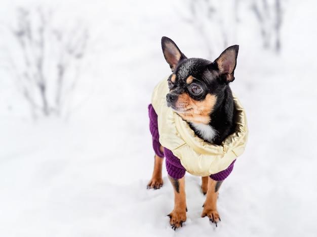 Chihuahua in winterkleren op een achtergrond van sneeuw.