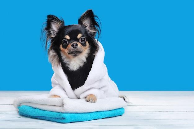 Chihuahua in witte badjas golding poten op handdoekenstapel
