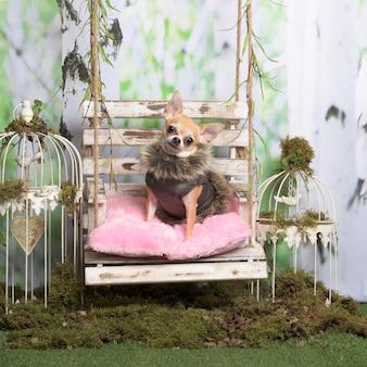 Chihuahua met bontjasje op een rozenkussen, in pastorale decoratie