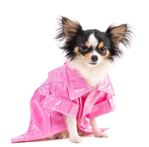 Chihuahua met een roze jasje