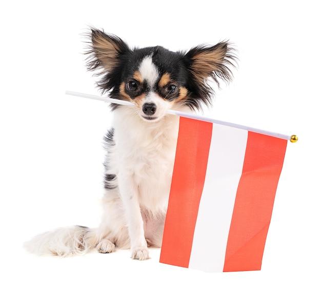 Chihuahua met een vlag van australië op witte ruimte