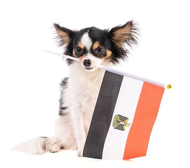 Chihuahua met een vlag van egypte op witte ruimte