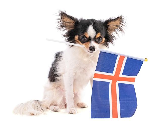 Chihuahua met een vlag van ijsland op wit geïsoleerd