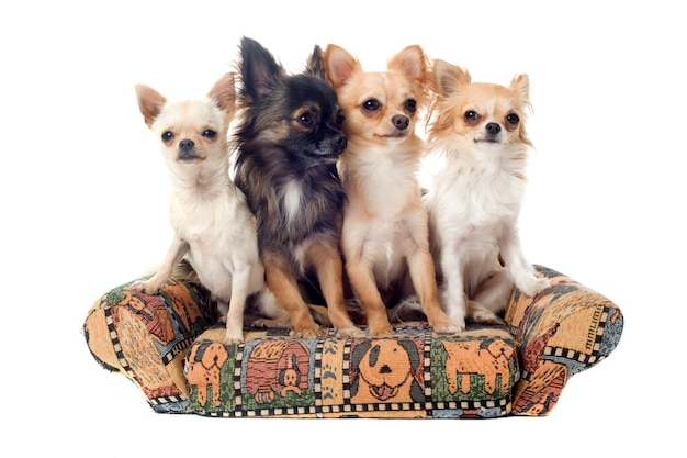 Chihuahua op de sofa