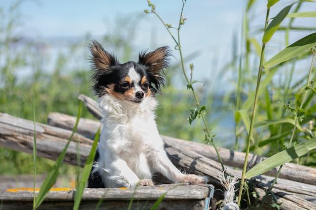 Chihuahua op een oude blauwe vissersboot