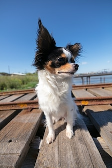 Chihuahua op een vissersponton in de wildernis