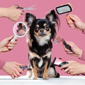 Chihuahua op roze muur die verzorgingsprocedures krijgt