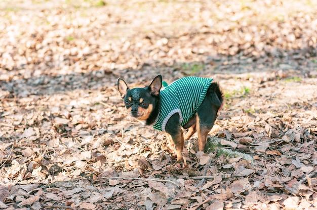 Chihuahua poepen op grasveld. chihuahua hond ontlast. chihuahua kak