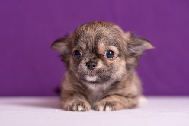 Chihuahua puppy op paars
