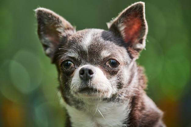 Chihuahua puppy portret, hondje in de tuin. schattige kleine hondje op gras. kortharig chihuahuaras.