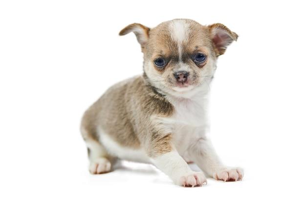 Chihuahua pups, geïsoleerd. kleine schattige hond op witte achtergrond. hondenopvang puppy. kleine kortharige chihuahua hondenras, studio shoot.