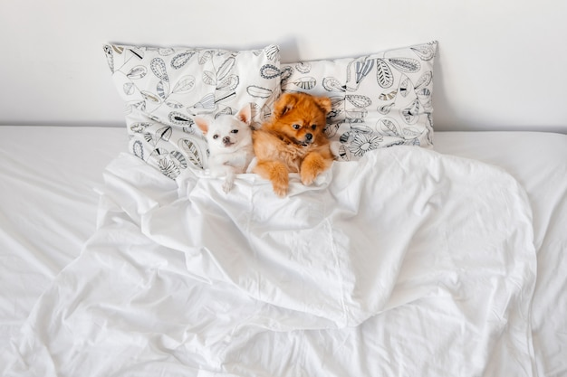 Chihuahua slaapt in een bed
