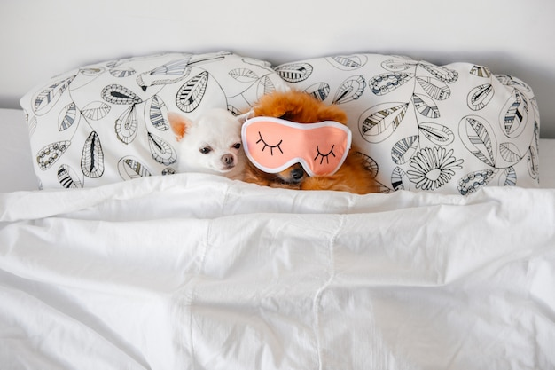 Chihuahua slaapt in een bed