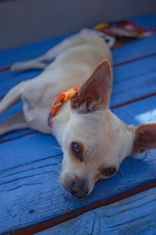 Chihuahua slapen in een houten vloer