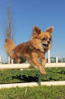 Chihuahua springen in behendigheidswedstrijd