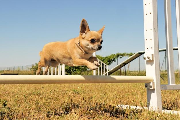 Chihuahua springen