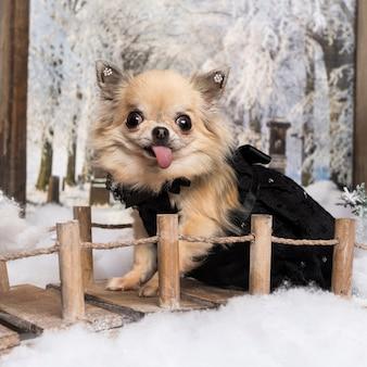 Chihuahua steekt de tong, op een brug in een winterlandschap,