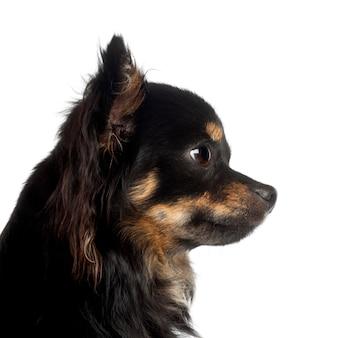 Chihuahua tegen witte achtergrond