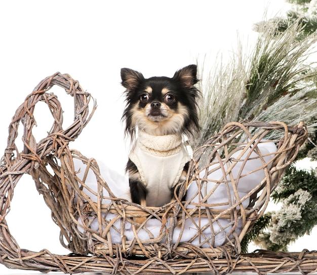 Chihuahua voor een kerstlandschap