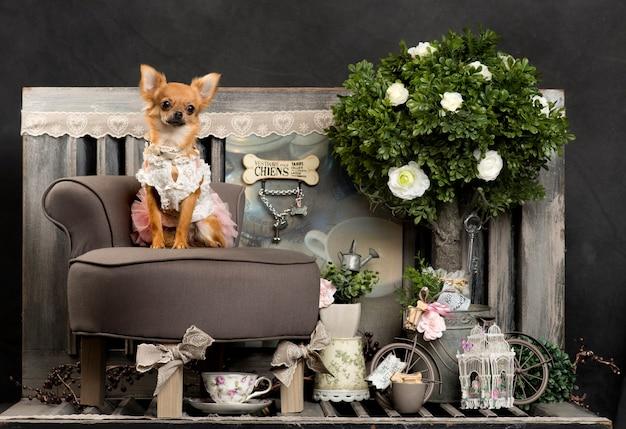 Chihuahua voor een rustieke muur