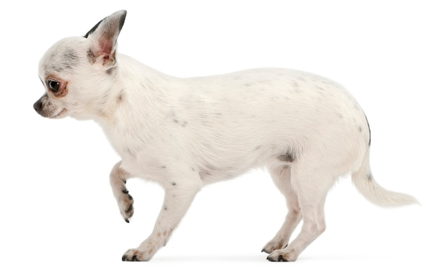 Chihuahua voor witte achtergrond