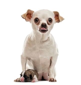 Chihuahua zitten met zijn puppy zijn tong uitsteekt en kijken naar de camera