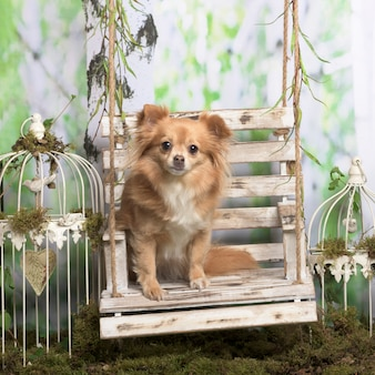 Chihuahua zittend, in pastorale decoratie