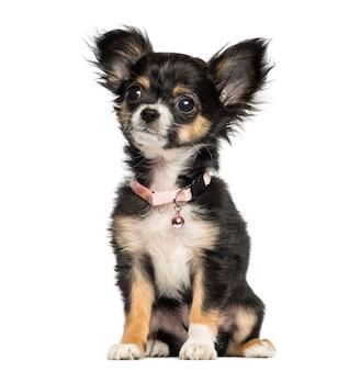 Chihuahuapuppy die buitensporige kraag dragen die op wit wordt geïsoleerd