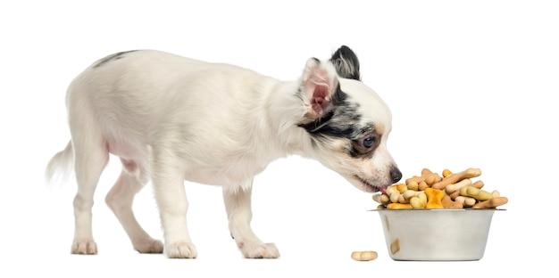Chihuahuapuppy die hondebrokjes van een kom eten die op wit wordt geïsoleerd