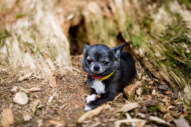 Chihuahuapuppy die in hout liggen