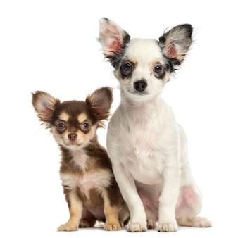 Chihuahuapuppy die naast elkaar zitten geïsoleerd op wit