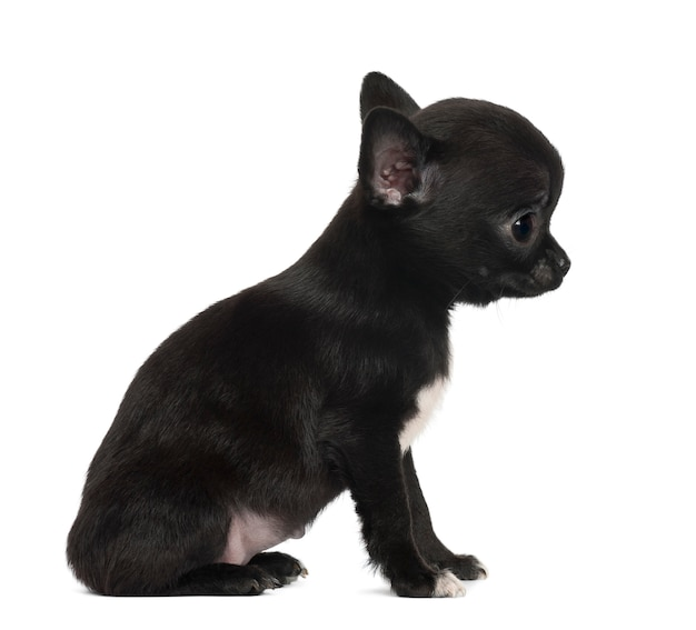Chihuahuapuppy, die tegen witte achtergrond zitten