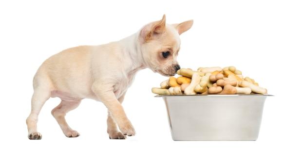 Chihuahuapuppy die van een groot komhoogtepunt eten van koekjes dat op wit wordt geïsoleerd