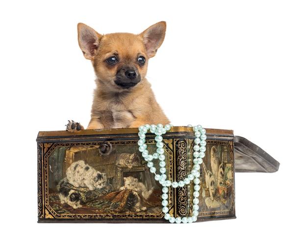 Chihuahuapuppy in een uitstekende doos die op wit wordt geïsoleerd
