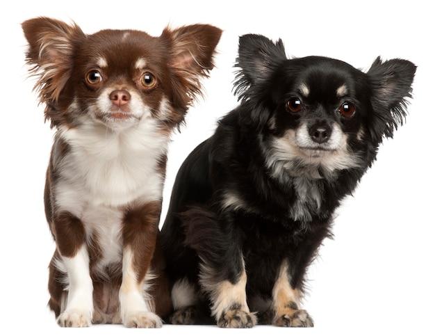 Chihuahuas, 1 en 2 jaar oud,