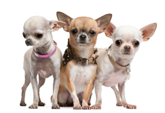 Chihuahuas, 2 jaar oud, staande voor de witte muur
