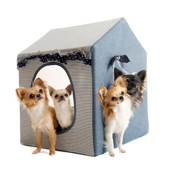 Chihuahuas binnenshuis hond
