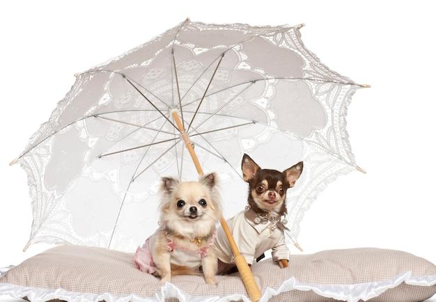 Chihuahuas die onder parasol tegen witte achtergrond zitten