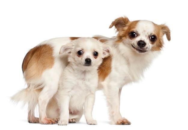 Chihuahuas en puppy, glimlachend tegen witte achtergrond