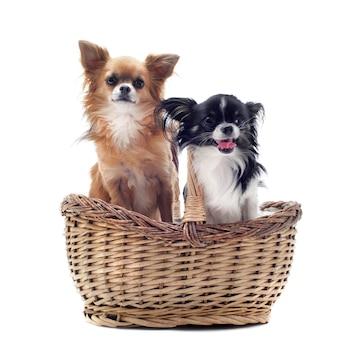 Chihuahuas in de mand