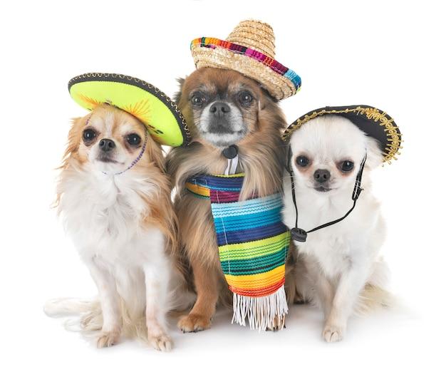 Chihuahuas in de studio